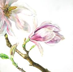 Magnolia x soulangiana 2 by Rosie Sanders