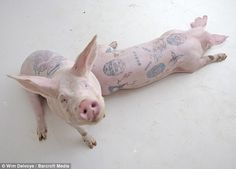 Two piglets at the farm already look the part after Wim Delvoye has applied his artistic touches