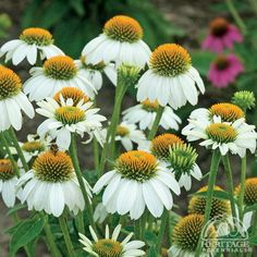 White Coneflower (Echinacea purpurea 'PowWow White') - An All-America Selections Award Winner, this selection has a compact habit and features pure white petals overlapping a golden-yellow cone.  Coneflowers are sturdy, easy-care perennials that bloom from mid summer to early fall in a sunny location.  Seed heads provide winter interest and food for wintering birds. - perennials.com