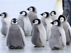 baby penguins                                                                                                                                                                                 More