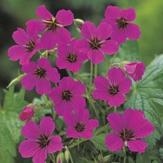 "Hardy Geranium hybrid Patricia : Very deep dark magenta pink flowers. Hardy Geraniums are perfect for bedding in the borders as they come back with colour year after year! They naturally spread so once you have had them in the garden for a couple of years you can divide them up and have even more plants! Height: 75cm (30""). Spread: 40cm (16"")."