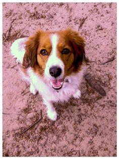 Kooikerdog, mijn Kooikerhondje Hanna