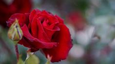 With the help of synthetic polymers, the team managed to use the vascular system of rose stems to build the basic parts of electronic circuits inside the plant.
