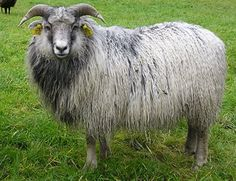The Spælsau (Old Norwegian Short Tail Landrace, Gamalnorsk spæl Norwegian) is a breed of sheep from Norway.