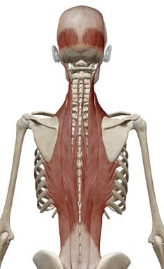"""The """"Hidden Survival Muscle"""" In Your Body Missed By Modern Physicians That Keep Millions Of Men And Women Defeated By Pain, Frustrated With Belly Fat, And Struggling To Feel Energized Every Day… Neck Muscle Anatomy, Anatomy Back, Gross Anatomy, Human Body Anatomy, Skeleton Muscles, Anatomy Images, Postural, Musculoskeletal System, Medicine Book"""