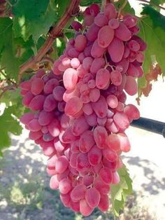 Different coloured grapes on a bunch like this . So Sweet and Juicy Colored Grapes. Fruit Plants, Fruit Garden, Fruit Trees, Fresh Fruits And Vegetables, Fruit And Veg, Beautiful Fruits, Beautiful Flowers, Beautiful Beach, Fruits Images