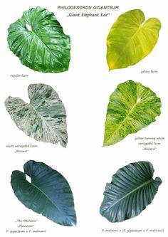 Rare Plants, Exotic Plants, Tropical Plants, Ornamental Plants, Foliage Plants, Philodendron Monstera, Garden Planner, Plant Identification, Variegated Plants