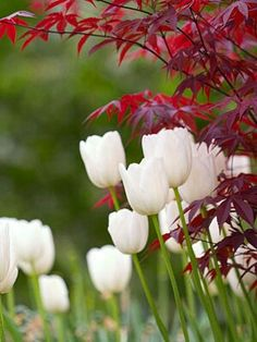 White tulips on red Japanese maple leaves.