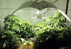 weed_indoor