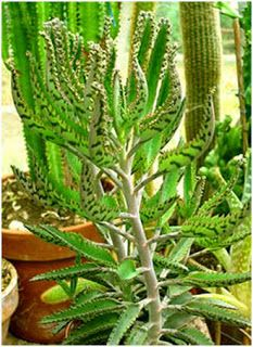 Nuturing one of these through the winter inside.Mother of Thousands, Mexican Hat Plant (Kalanchoe daigremontiana) Succulent babies Gorgeous Coral flowers Succulent Names, Cacti And Succulents, Planting Succulents, Garden Plants, Indoor Plants, Mexican Hat Plant, Crassula, Echeveria, Cactus Plante