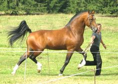 Stallion Halipot, supposedly a Freiberger