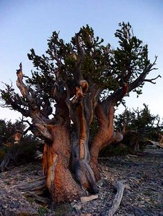 The Great Basin Bristlecone Pine tree. These trees are considered one of the longest living species of trees. The oldest living tree known currently, is a bristlecone pine, aged somewhere around 4900 years.