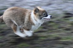 Alana, rescue from the streets of Romania, adopted in Holland....She obviously like to run ;-)