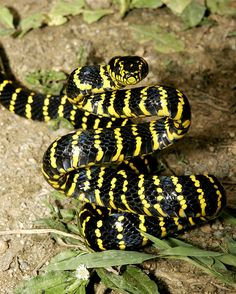 The gold-ringed cat snake or mangrove snake (Boiga dendrophila) is a species of rear-fanged colubrid. It is one of the biggest cat snake species, averaging 6–8 feet (1.8-2.4 m) in length. It is considered mildy-venomous, but moderate envenomations resulting in intense swelling have been reported, though there has never been a confirmed fatality