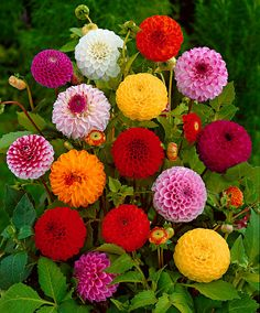 Bonsai Rare Yellow Orange Dahlia Seeds Chinese Flower Seeds Bonsai Plants for Garden / PACK This is an AliExpress affiliate pin. Locate the offer on AliExpress website simply by clicking the VISIT button Chinese Flowers, Dahlia Flower, Rare Plants, Bulb Flowers, Small Flowers, Colorful Flowers, Flower Seeds, Garden Supplies, Flower Power