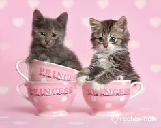 Cute teacups kittens - Cats Wallpaper ID 1971833 - Desktop Nexus Animals Kittens And Puppies, Cats And Kittens, Crazy Cat Lady, Crazy Cats, I Love Cats, Cute Cats, Teacup Kitten, Photo Chat, Girly