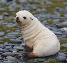 Antarctic Fur Seal – Facts, Information and Amazing Pictures Sooo süßes Baby Antarctic Fur Seal Funny Seals, Cute Seals, Seal Pup, Baby Seal, Cute Little Animals, Cute Funny Animals, Cute Creatures, Animals Beautiful, Animals And Pets