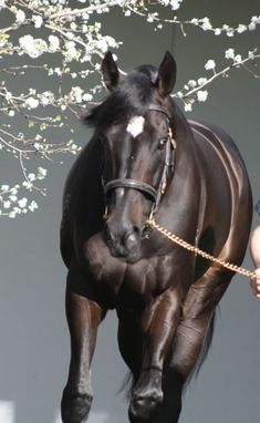 Star NZ-bred Australian champion horse
