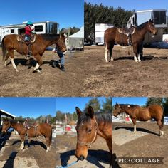 Tuscan is with a thick build. Western Riding, Trail Riding, Paint Horses For Sale, Horses For Lease, Miniature Horse Tack, Kiger Mustang, Cleveland Bay, Highland Pony, American Paint Horse