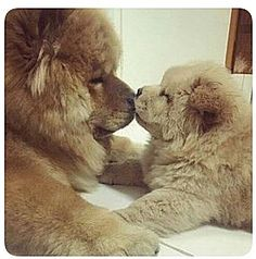 Best Images and Ideas about Chow Chow, The Oldest Dog Breed Beste Bilder und Ideen über Chow Chow, die älteste Hunderasse Fluffy Dogs, Fluffy Animals, Cute Baby Animals, Animals And Pets, Baby Dogs, Pet Dogs, Dog Cat, Doggies, Cute Puppies