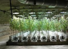 In hydroponics marijuana growing, a sterile inert growing medium is used and not soil. The nutrients are given to the weed plants through the growing medium and Grow Room, Marijuana Plants, Weed Plants, Cannabis Plant, Cannabis Growing, Growing Weed, Growing Plants, Medical Cannabis, Bonsai