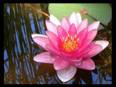 #water lilly #pink