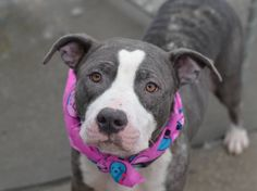 TO BE DESTROYED - 02/14/15 Brooklyn Center -P My name is IVY. My Animal ID # is A1026937. I am a female gray and white pit bull mix. The shelter thinks I am about 2 YEARS I came in the shelter as a STRAY on 02/01/2015 from NY 11221, owner surrender reason stated was ABANDON. https://www.facebook.com/Urgentdeathrowdogs/photos/a.611290788883804.1073741851.152876678058553/958411330838413/?type=3&theater