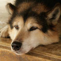 Pretty Ramy 😍 Ramy gjorde stort intrykk på meg allerede ved det første øyekast 💖 Han er ikkje bare den fineste og peneste Siberian eg veit… Husky, Dogs, Animals, Animales, Animaux, Doggies, Animal, Animais, Husky Dog