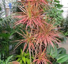 Tanaman Dracaena Marginata Tricolor