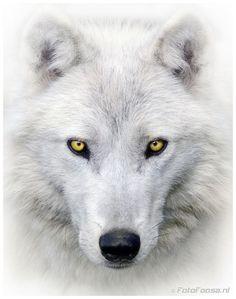 White Wolf by Foto Foosa