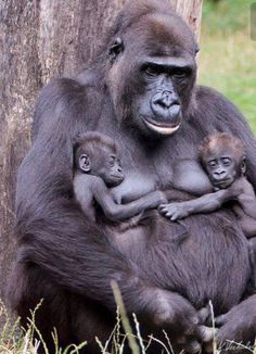 Gorilla parent and babies - Gorillas - Save the Primates Nature Animals, Animals And Pets, Wild Animals, Cute Baby Animals, Funny Animals, Mother And Baby Animals, Tier Fotos, My Animal, Animal Photography