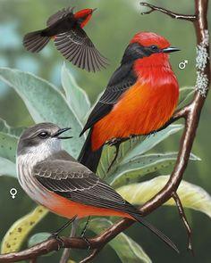 Vermilion Flycatcher - Whatbird.com