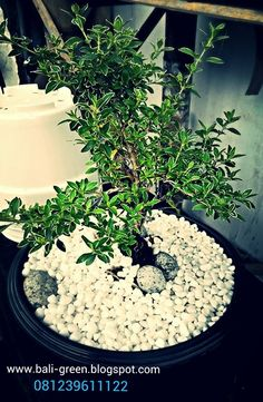 Go Green with balinese mini bonzai only at Putra Garden Tanaman Hias - Unique Houseplants in Denpasar Bali