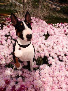 Flower, the English Bull Terrier