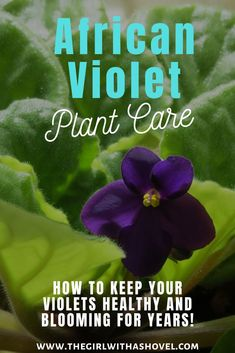 Make sure to keep your plant happy and healthy with these awesome african violet plant care tips! African Violet Care | African Violet Care Tips | African Violet Care Houseplants | African Violet Plant Care Tips How to Grow | How to Grow African Violet | African Violet Plant Care Tips Water | Saintpaulia African Violet Care | African Violet Houseplant Care Tips |#africanvioletplant #saintpaulia