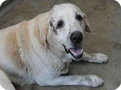 Los Angeles, CA - Labrador Retriever. Meet COSMO, a dog for adoption. http://www.adoptapet.com/pet/13478033-los-angeles-california-labrador-retriever