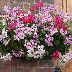 Ivy Geranium. How to care for at http://lawnpatiobarn.wordpress.com/2010/04/13/ivy-geranium/
