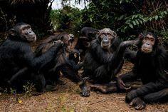 Sparrow, 56 ans, (deuxième à partir de la droite) est le chimpanzé le plus âgé de Gombe et aussi la matriarche incontestée de la famille S. Elle et ses descendants se livrent ici à une séance de toilettage. « Sparrow est de la vieille école, observe Carson Murray, qui l'a suivie pendant plusieurs saisons. Elle élève des filles fortes et compétentes, mais ses fils sont des fils à maman. » - National Geographic France