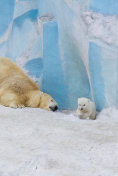 "plasmatics-life: "" Polar bear Gerda playing with cub Polar Bears Live, Baby Polar Bears, Animals And Pets, Baby Animals, Cute Animals, Baby Giraffes, Wild Animals, Majestic Animals, Animals Beautiful"