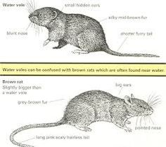 water vole and brown rat compared Brown Rat, Brown And Grey, Furry Tails, Cool Eyes, Farm Animals, Rats, Mammals, Mole, Amazing