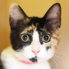 Primrose is a darling curious kitten who is available for adoption at our Mission campus!