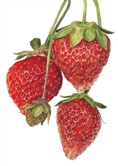 Strawberries 'Everest' by Anna Knights. Amazing botanical artist. Watercolor.