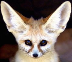 So precious!  Fennec Fox.