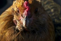 One of the Coop Hosts from the 2012 The Funky Chicken Coop Tour® shares about chicken keeping and gardening on this informative website: http://www.fromourgarden.com/