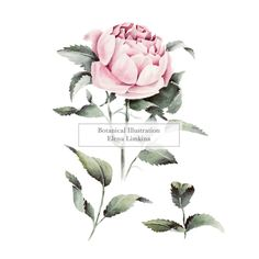 Watercolor Botanical Illustration by Elena Limkina. Rose www.limkina.com