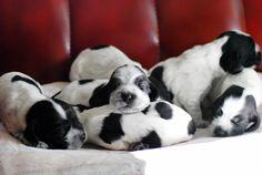 Cocker puppies OMG! sleeping cuties *-*