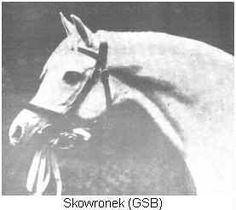 """Champion SKOWRONEK, a White Kehilan Ajuz of the strain imported to Poland by the Antoniny Stud. G.S.B. Vol 24. P.P.S.B 664. Hurlingham 12003, and R.S.B. Sire Ibrahim (white) by Heijer ex Lafitte. Dam Yaskoulka, 99 vii, R.S.B., a Kehilet Ajuz by Rymnik ex Epopea by Dervish ex Lyra, 198 R.S.B. Count Joseph Potocki's famous Arab Stud at Antoniny dated from before the year 1700. It was destroyed by the Bolsheviks during the Great War, 1916."""""""