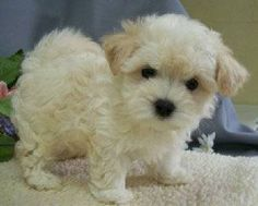 """Looks like my baby girl """"Ellie"""" Maltipoo Puppies, Yorkies, Cute Puppies, Dogs And Puppies, New Puppy, Puppy Love, Baby Animals, Cute Animals, Maltese Poodle"""
