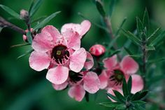 Leptospermum ( L. scoparium 'Helene Strybing' )  Evergreen shrub  Likes Well-drained, fertile, acid soil. Does best where night temperatures are cool and can tolerate full sun and dry conditions near the coast, needs summer water inland. Casual, often showy flowers year round. Sports single, slightly larger, deep pink blooms. Useful landscape structure plants, fragrant foliage. Can be used for tea, but is not very palatable. Flowers are good bee forage.