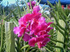 "4 da Love of Orchids: Vanda ""Taib"""